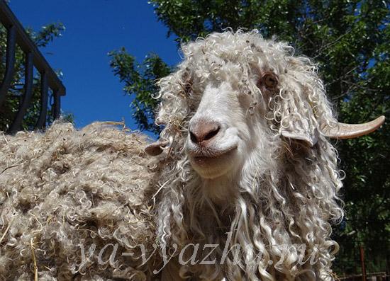 Шерсть ангорских коз