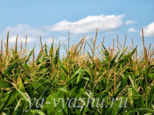 Пряжа из кукурузы