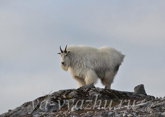 Кашемир - шерсть гималайских коз