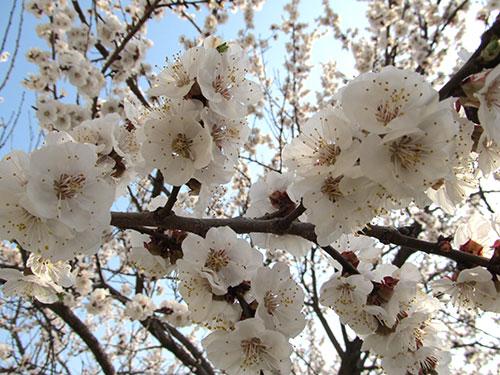 Пышно цветет абрикос