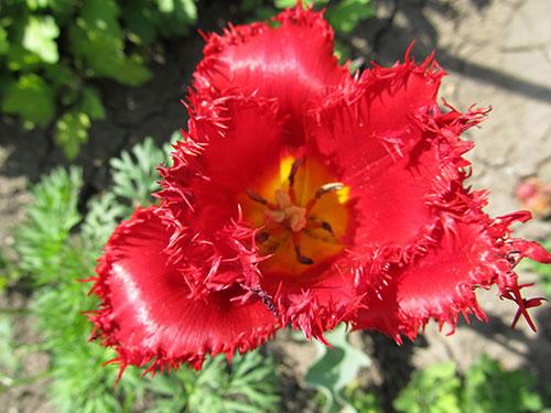 Тюльпан в саду