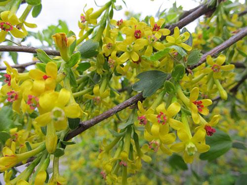 Цветет Мичуринская смородина
