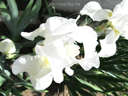 Белые ирисы в нашем саду