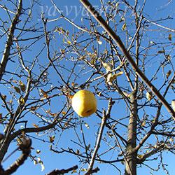 Последнее яблоко в лучах ноябрьского солнца