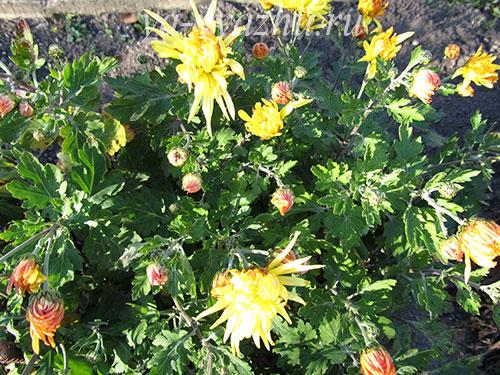 Желтые игольчатые хризантемы