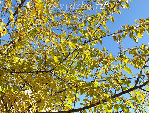 Красавица шелковица в ноябре