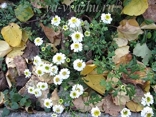 Последние цветочки в огороде