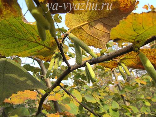 Фундук осенью