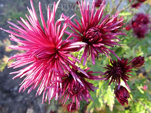 Игольчатая красавица хризантемка