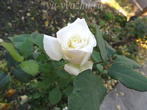 Ноябрьская роза