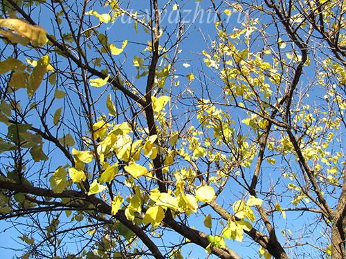 Осыпаются листья с абрикоса