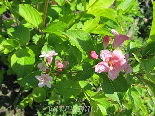 Куст вейгелы розовой