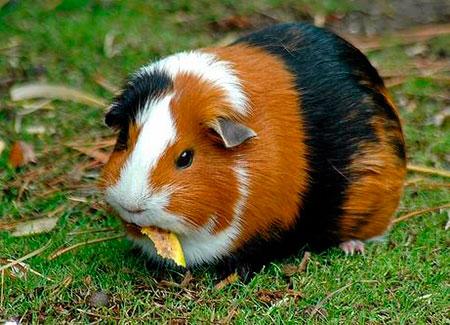Маленькая  безобидная свинка