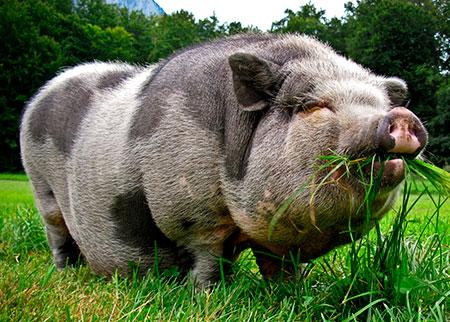 Подложила свинью читателям блога